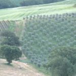 Val D'Orcia from olive grove