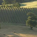 Vines in the Val D'Orcia
