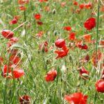 Poppy Field -1